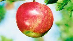 Fruchtiger Apfel von SanLucar.