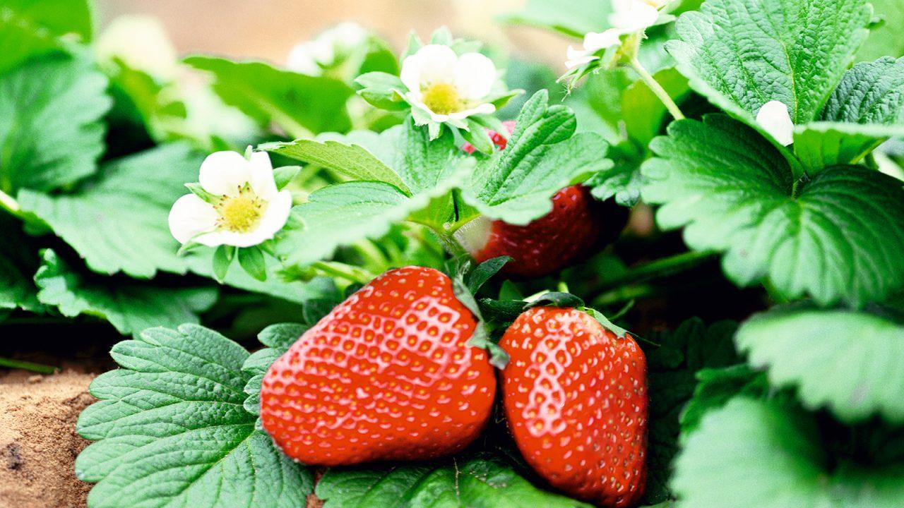 Die Erdbeere und ihre inneren Werte