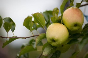 golden delicious ernte