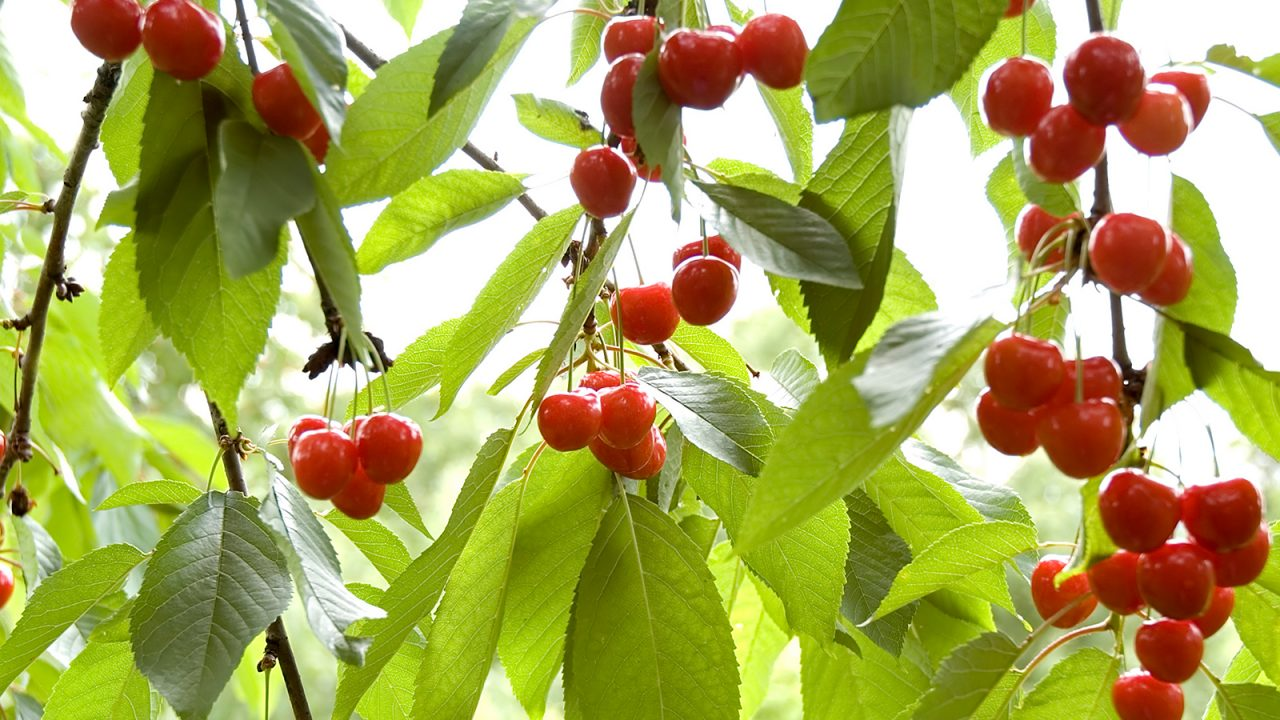Cherries – Myths and Truth