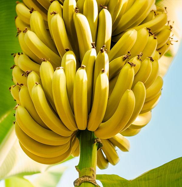 Ananas_