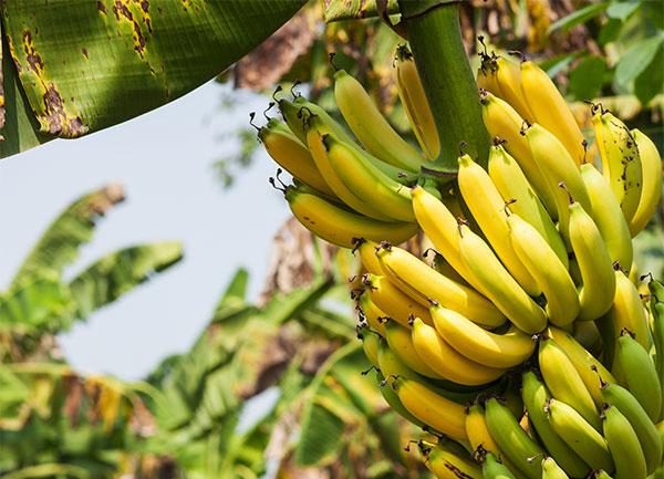 Bananen1