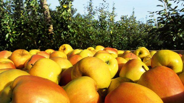 Auf den Opal®-Apfel-Feldern