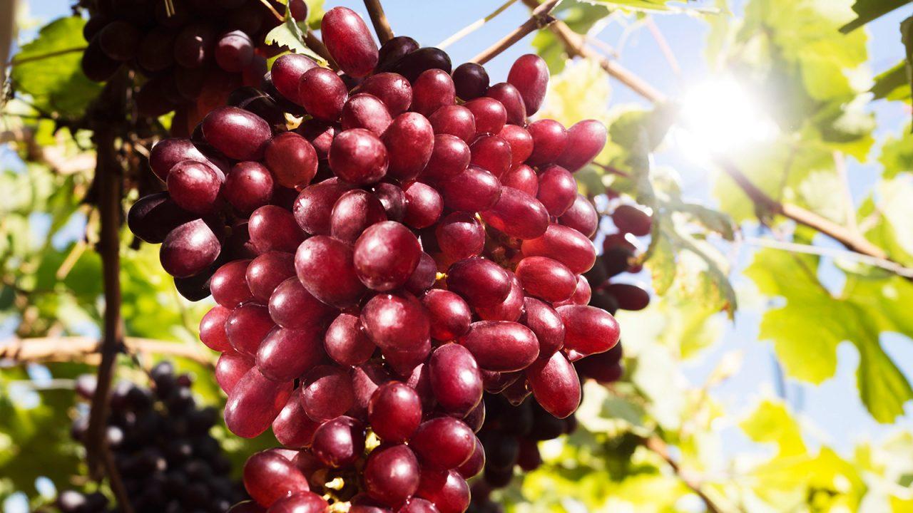 Llega a Europa desde Ecuador el primer contenedor de uva sin pepitas
