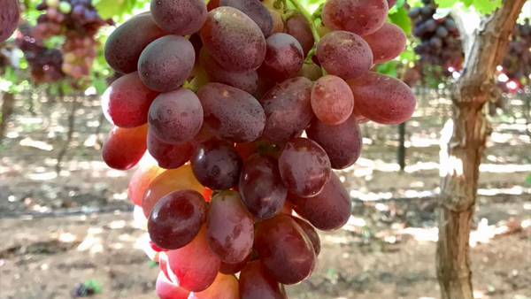 In search of the tastiest grapes
