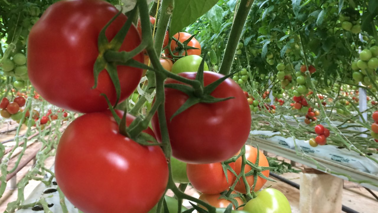 An oasis for delicious tomatoes