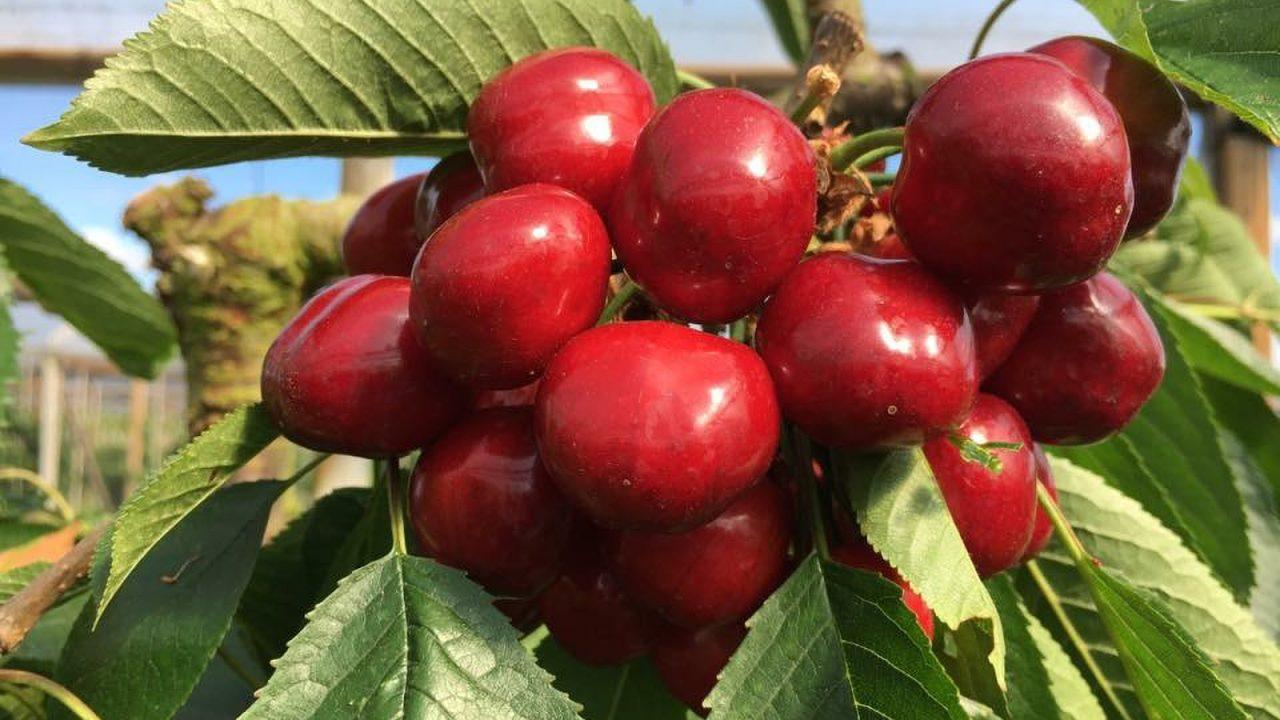 Simply unbelievable cherries