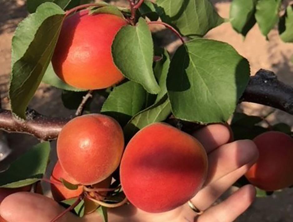Apricots – the Tenderest Fruit Temptation Ever