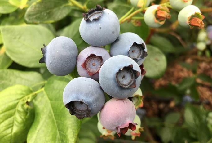 Die blaue Beeren Stunde