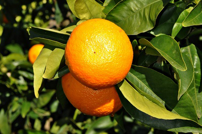 Delicious Orri Mandarins to keep you in the best mood