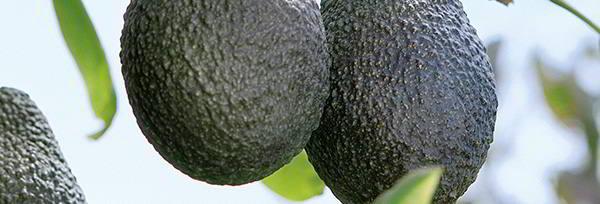Avocado_retoque_despleg.