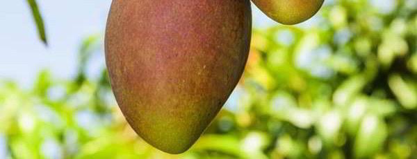 mango_fruta-arbol_cortada