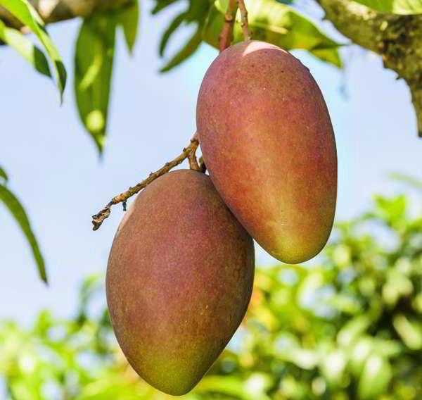 mango_fruta-arbol_sincortartif
