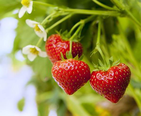 Die Erdbeeren von Sebastián Morcelo