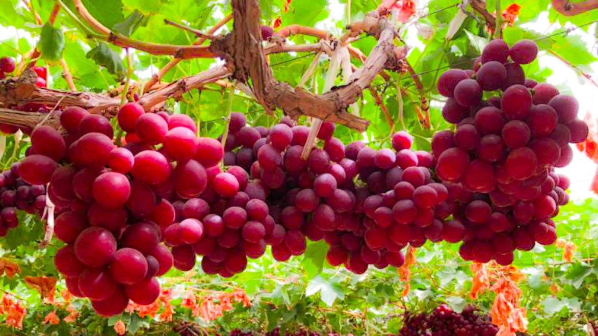 Grapes in Ecuador: How an idea becomes fruit