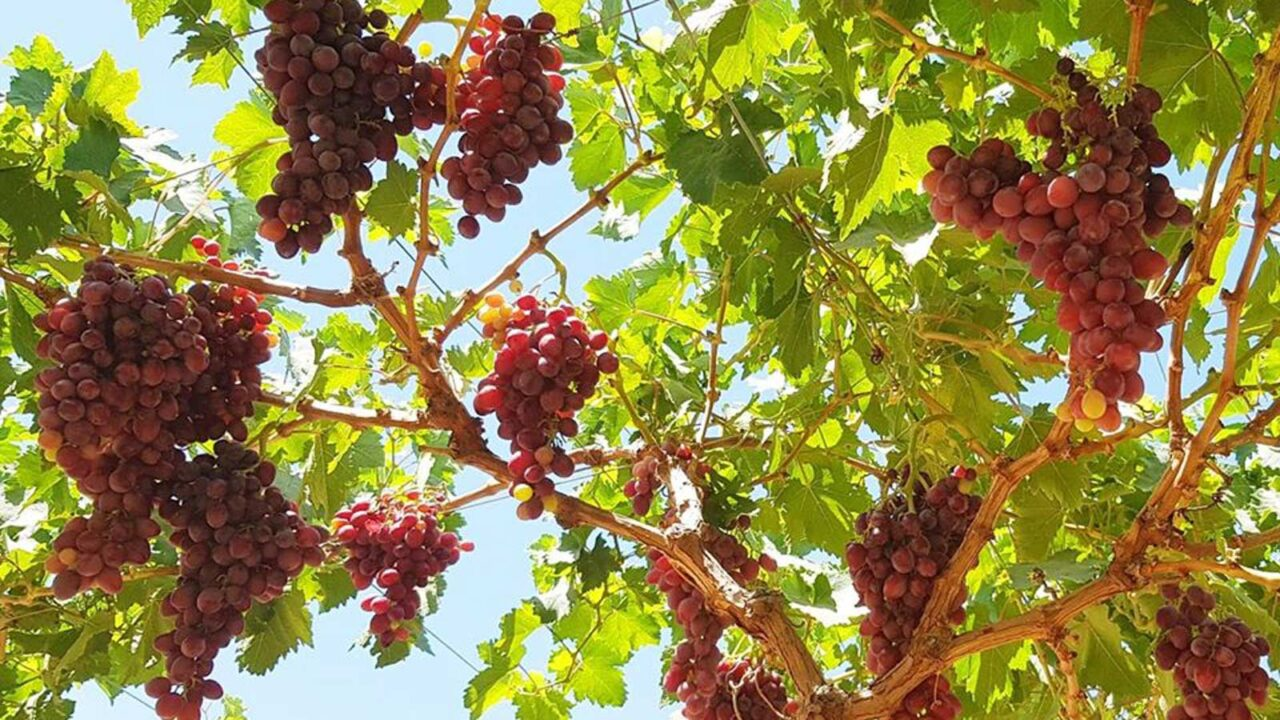 Sweet love: Grape cultivation with us.