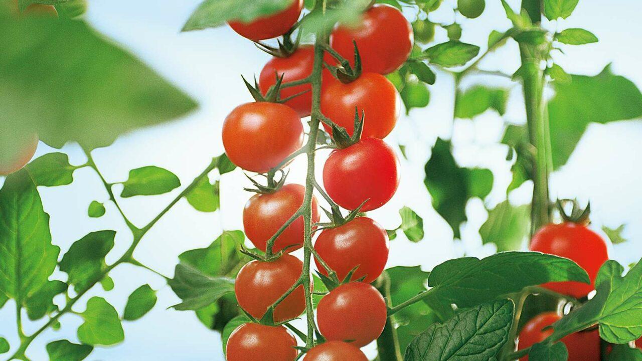 Cherry_Tomaten (1)
