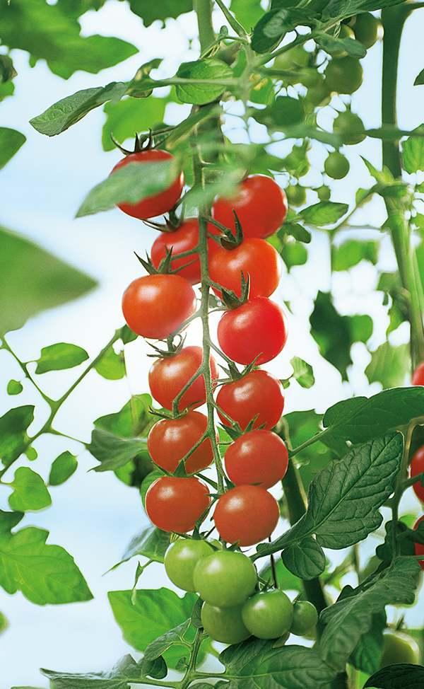Tomaten_ausbildung
