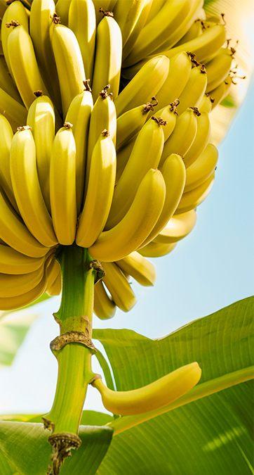 banana_ausbildung