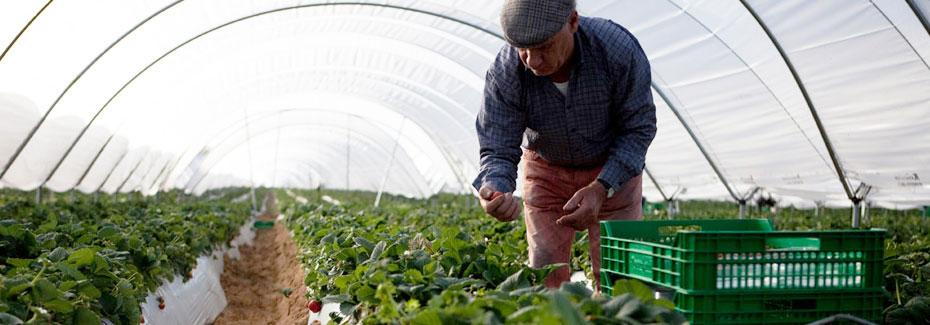 Mann beim Erdbeeren pfluecken