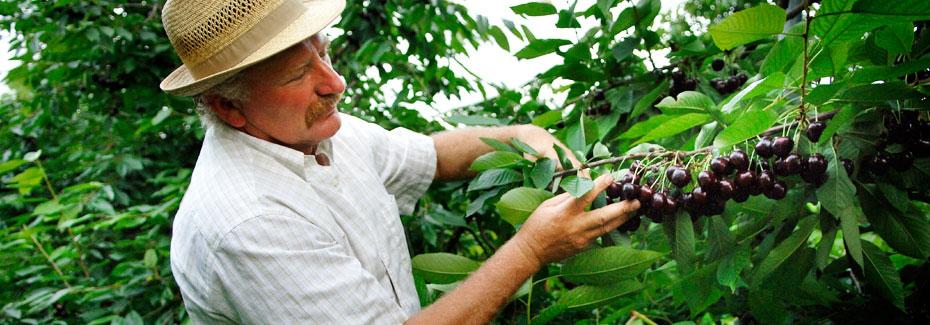 Mann mit Kirschbaum